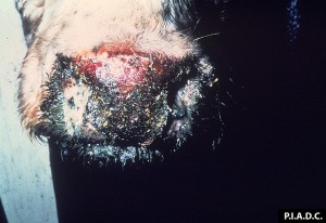 Bovine. The muzzle is covered by an adherent crust, and the underlying (eroded) tissue is hyperemic (bloody)