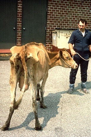 Guernsey cow with clinical signs of Johne's disease